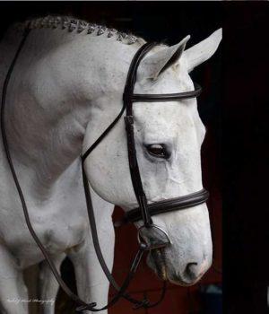 Show horse competition bridle